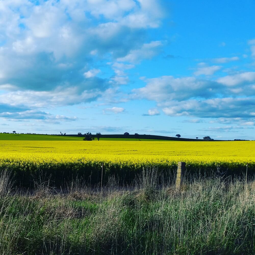 Canola crop driving home from Cootamundra